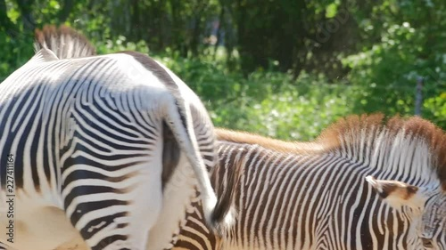 A close-up of an imperial zebra mom, with foal close by. (zoo)