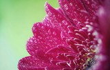 bright pink petals in dew drops