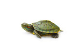 red-eared turtle on white background