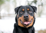A purebred Rottweiler dog with a happy expression outdoors in the winter - 227488523