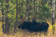 Bull Shiras Moose in Autumn in Wyoming