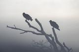 Buzzards in Morning Fog