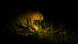 leopard in night