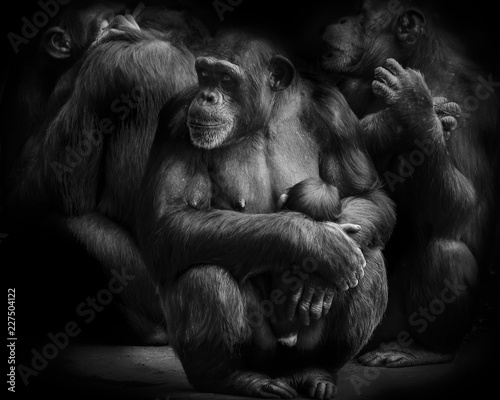 Mother and Baby chimpanzee monkey in a group of chimpanzees | Buy