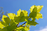 Close-up of some leaves of a Beech (fagaceae) tree in an english garden - 227513150