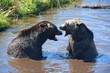 Two Grizzly Bears Fighting