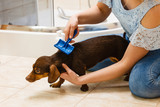 Woman brushing her dachshund dog