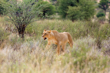 Lioness (Panthera leo krugeri) is walking it the savanna and looking for the rest of the lion pride.