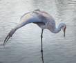 Sandhill Crane balancing