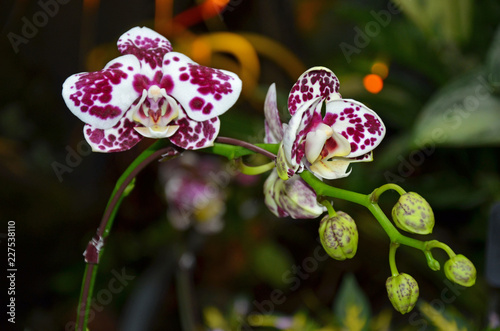 Spotted purple moth orchids - 227538110