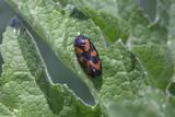 Schwarz roter Käfer auf Blatt