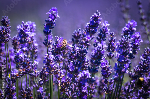 Honeybee on lavender flowers at a lavender farm on a sunny summer day. - 227577755