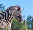smiling zebra