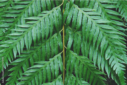 Foto Murales Exotic Tropical Fern Leaves as Natural Green Texture Background