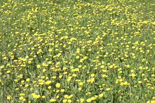 dandelion at spring - 227582501