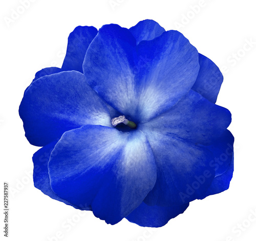 Flower blue violets  on a white isolated background with clipping path  no shadows.  Closeup  For design.  Nature. - 227587937