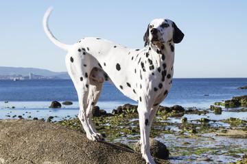 portrait of Dalmatian dog on the beach