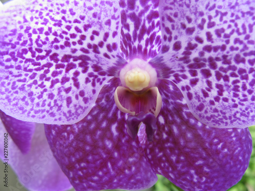 Orchids in Myanmar - 227600362