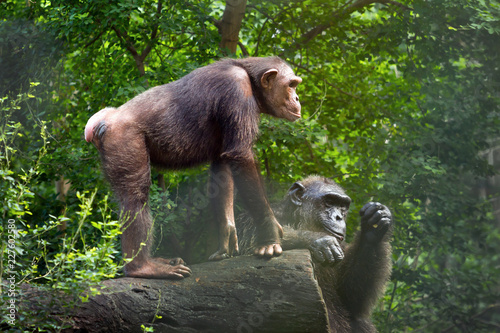 Family of chimpanzees in the wild.