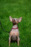 Dog breed American Hairless Terrier - 227616958