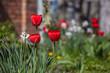Beautiful red tulips in spring garden