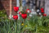 Beautiful red tulips in spring garden - 227623125