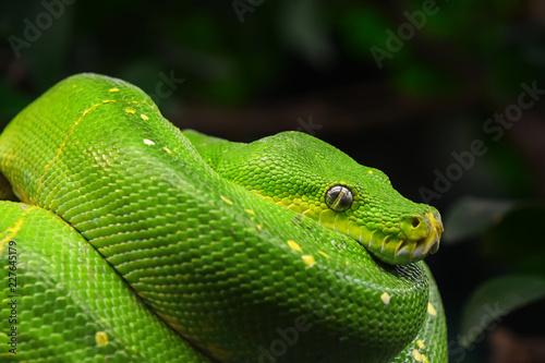 Foto Murales Green tree python profile portrait close up
