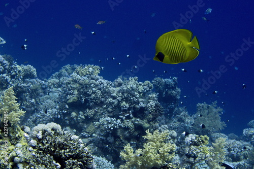 Coral reefs of Red Sea, Sharm el Sheikh, Egypt