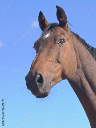 portrait of brown horse against blue sky