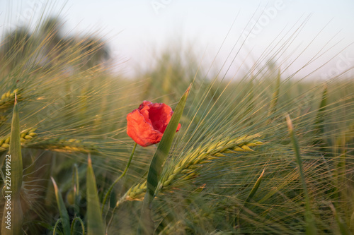 Poppy Flower - 227649922
