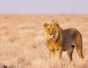 male lion in warm sunlight