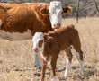 Cow with her calf on a sunny day