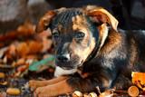 Hundewelpe spielt im Herbstlaub