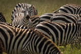Group of zebra eating grass in National Park of Serengeti, Tanzania.