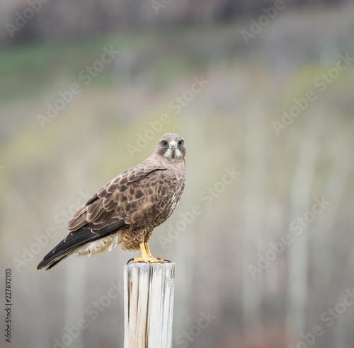 Leinwandbild Motiv Hawk