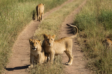 Group of lions in the road of National Park of Serengeti, Tanzania