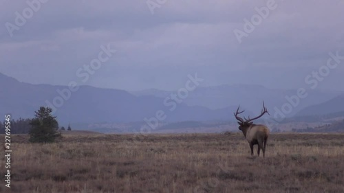 Sticker Bull elk in Meadow During the Fall Rut