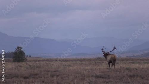 Bull elk in Meadow During the Fall Rut