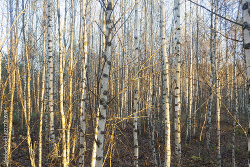 the birch grove - 227700598