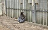 Sad kangaroo locked - 227702979