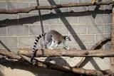 Lemur climbing branches - 227702990