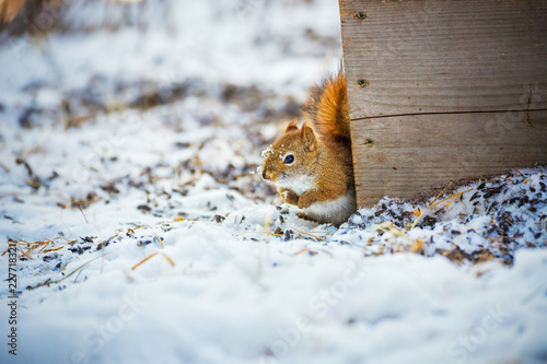 Foto Murales Cute squirrel with snow in winter