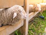 Horn sheep climb in the farm on green grass. - 227724776