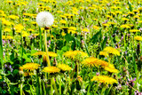 dandelions in a meadow, in Lisbon Capital City of Portugal