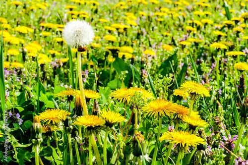 dandelions in a meadow, in Lisbon Capital City of Portugal - 227725391