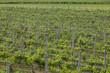 Michigan Wine Vineyard