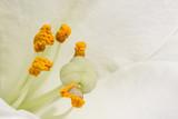 Staubfäden einer weißen Lilie