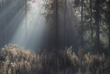 Fototapeta Forest - Promienie lasu © Tomek Kiecana