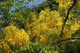 Flowers yellow acacia, Kerala, South India - 227733588