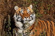 Portrait of a Bengal tiger (Panthera tigris bengalensis) in natural habitat, India.